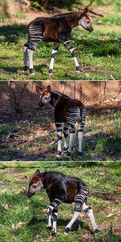 Curious Baby Okapi Explores Habitat for First Time at San Diego Zoo Safari Park