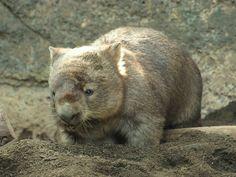 wombat  | ヒロキ、水について考える : bonsoir Wombat, Bear, Cats, Animals, Animal Kingdom, Animales, Gatos, Animaux, Bears