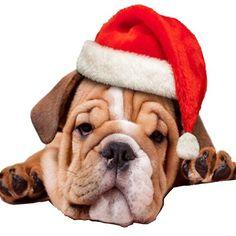 Christmas Puppy, Christmas Animals, Kids Christmas, Santa Claus Hat, Santa's Little Helper, Animal Wallpaper, Domestic Cat, Four Legged, Shih Tzu
