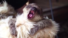 This fresh new baby sloth is what your Friday needs. He's also named Edward and yawns.