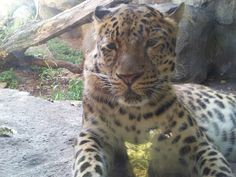 Leopard at MN Zoo