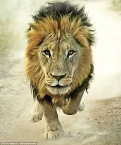 The lion king: The leader of the pride runs towards the Chris Weston's camera. He had spent six weeks gaining the trust of the big cats