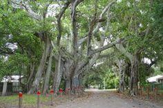 Panoramio - Photo of huge Banyan tree over street, 3rd ave east, Manatee Fla (7-2009)