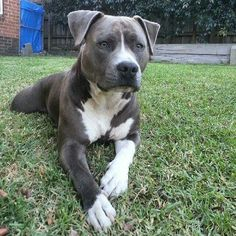 Super Cute Puppies, Cute Dogs And Puppies, Baby Dogs, Doggies, Amstaff Terrier, Pitbull Terrier, Cute Baby Animals, Animals And Pets, Funny Animals