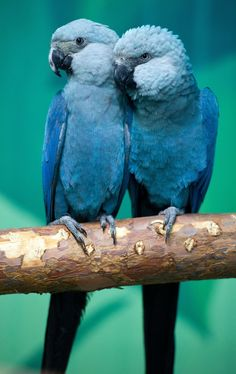 Spix's macaws Felicitas (L) and Frieda sit on a branch in their aviary at the association for the protection of endangered parrots in Schoeneiche, eastern Germany. (Reuters)