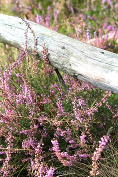... country heather ...