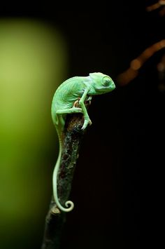 Chameleon by Peter St., via 500px