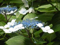 憲兵の碑と顎紫陽花:魚の庭 <2010-06-27>
