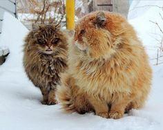 сибирский кот: 14 тыс изображений найдено в Яндекс.Картинках