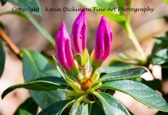 Flora of Australia and UK Kevin Dickinson fine art photography, canon photography, buy floral art, buy floral photography, visit Australia, flower photography, flower art