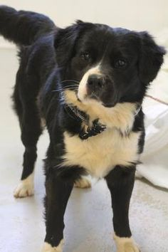 NAME: Ike ANIMAL ID: 31077378 BREED: border collie mix SEX: male EST. AGE: 3 yr Est Weight: 42 lbs Health: heartworm pos Temperament: dog friendly, people friendly. ADDITIONAL INFO: RESCUE PULL FEE: $35 Intake date: 3/14 Available: 3/20