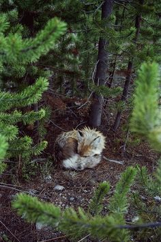 fox sleeping curled up woods