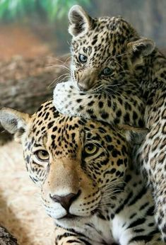 ❤️ Cheetah mother and cub.  Very Highly Endangered .