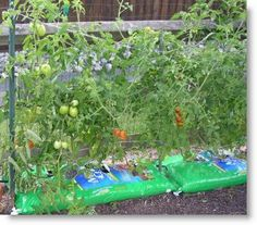 Easygrowing Tomatoes from Compost Bags....Easy Growing Container Gardens