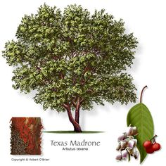 Common Name:	Texas Madrone (Madrono) Small Evergreen Growth Rate:	Slow Water Needs:	Dry Attributes:	Texas native, showy or fragrant flower, attractive seeds or fruit, seeds or fruit eaten by wildlife Features:	Flowers, red fruit, and dark, exfoliating bark. Comments:	Extrememly drought-tolerant native with striking flowers, bark, and fruit. Problems:	Difficult to establish. Requires a well-drained site, but new trees may need supplemental water. Firewise:	Yes