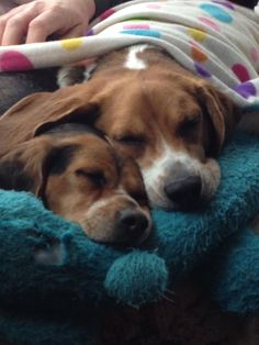 Gracie and Maddie :) #BeagleCute