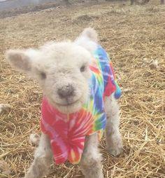 Babydoll Sheep, Wisconsin