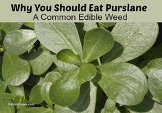 Why You Should Eat Purslane, A Common Edible Weed | Improved Aging