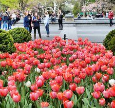 Lembranças da primavera em Nova York. Dia maravilhoso no Washington Square Park. Tudo sobre o meu roteiro no West Village tá no blog! http://ift.tt/1CaVNdL ___________________________________ Conheçam os parceiros:  @Atuallehd @blogpatrcinhanos30 @Insanamentetripsoficial @Luxuosidades @que_viagem #tulipas #tulipe #primavera #spring #nyc #washingtonsquarepark #manhattan #usa #vacation #bigapple #idasevindasdacarol #idasevindasblog #travelblog #traveltips #blogdeviagem #dicasdeviagem by…