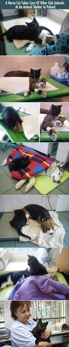 Nurse Cat Takes Care Of Other Sick Animals cute animals cat pictures adorable