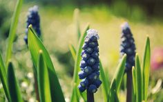 FLOWERS MACRO BUTTERFLY NATURE HQ WALLPAPER  | Nature Muscari Flowers Macro Hd Wallpaper | Wallpaper List
