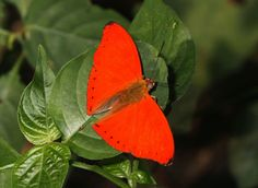 Butterfly Cymothoe mabillei, the Western Red Glider, is found in Guinea-Bissau, Guinea, Sierra Leone, Liberia, Ivory Coast and Ghana (west of the Volta River)