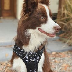This may be the comfiest and most easy to put on harness I ever did wear! Dog Harness, Border Collie, Your Dog, Husky, Wolf, Pets, Animals, Animales, Animaux
