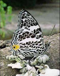 Mariposa Leopardo (Hypercompe Escribónia)