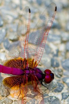 Dragonfly in macro photography Cool Insects, Flying Insects, Bugs And Insects, Beautiful Bugs, Beautiful Butterflies, Beautiful Creatures, Animals Beautiful, Foto Macro, Cool Bugs