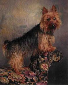 """Who Dat's Misbehavin, a.k.a. Missy, an Australian terrier from Farmington, Utah. """"Missy will do anything for a treat, and this included posing as the little well-behaved angel,"""" writes 4thegirls. """"She is not innocent, but loves to run and play, so this was a regal moment."""""""