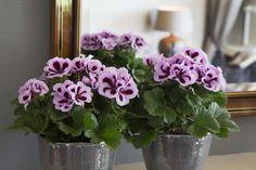 Patricia #franse #geranium #edelgeranie #regal #pelargonium #grandiflorum #indoorplants #spring #flowers