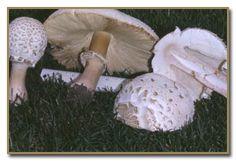 C. molybdites - Vomiter or Green-spored Parasol
