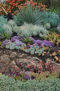 A garden of succulents about 8 months after being first planted, for a garden in the Oakland Hills.  The largest plants were already in the garden, while all the smaller succulents were either added or moved around in the garden to achieve more dramatic effects.  The Pincushion Protea at the top of the slope is incredibly happy in this setting, and almost sets the slope on fire with the sheer quantity of blooms.  There are also a few California natives in this front garden, including Dudleya…