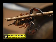 How do scorpions reproduce? Some scorpions reproduce through parthenogenesis; a process where an unfertilised egg develops into a living embryo and are born alive. Egg, Wildlife, Animals, Eggs, Animales, Animaux, Animal, Egg As Food, Animais