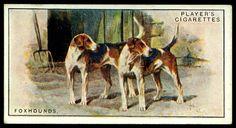 Cigarette Card - Foxhounds
