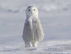 snowy owl #snow #owl #white #birds