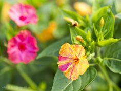 Wunderblume Mirabilis säen, pflegen