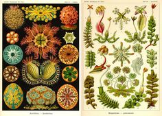 Ernst Haeckel. Biologia ed arte: il disegno naturalistico | DidatticarteBlog