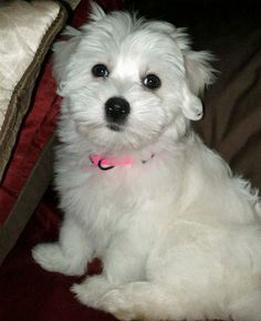 Maddie the Coton de Tulear Cute Puppies, Dogs And Puppies, Coton De Tulear Puppy, Sadie, Puppy Love, Doggies, Dog Lovers, Cute Animals, Pets