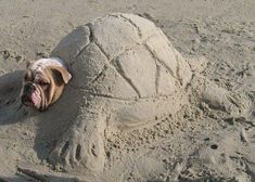 He's stuck! Hope his little bulldog body was ok! ~ NOT FUNNY. NOT CUTE. This is dangerous animal abuse. This breed of dog has trouble breathing to begin with, let alone after you bury him under 50 pounds of sand.