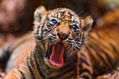 International Tiger Day: Yawning tiger cub