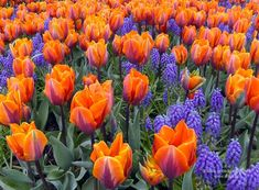 skagit valley tulip festival I love that place  I wish i can go there again!