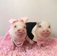 Aw, piggy wedding
