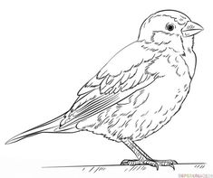 How To Draw A House Sparrow Step By Drawing Tutorials For Kids And Beginners