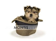 The Worlds cutest Morkie puppy. Tampa Wedding Photographer. Jon Montis Photography