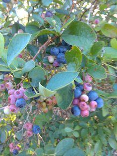 Blueberries ripe for pickin'