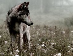 Gray Wolf--Running With Wolves Photo Beautiful Creatures, Animals Beautiful, Cute Animals, Animals Images, Canis Lupus, Beautiful Wolves, Tier Fotos, Wild Dogs, Lone Wolf