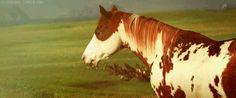 hidalgo horse | Hidalgo The Horse | Pictures Online