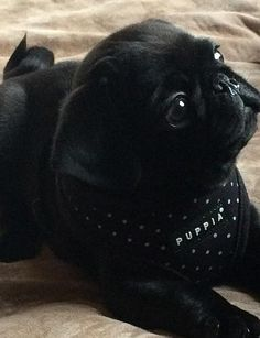 Black dotty puppia harness at www.ilovepugs.co.uk post worldwide