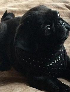 puppia black dotty harness at www.ilovepugs.co.uk post worldwide